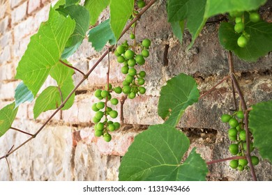 Young grapevine on the wall in the springtime