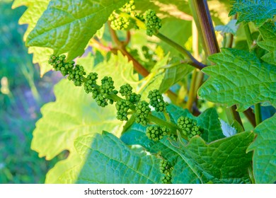 Young grapevine in wineyard. Close-up of grapevine. Wineyard at spring.  Sun flare. Vineyard landscape. Vineyard rows at South Moravia, Czech Republic.