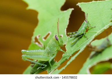 Young grasshopper eating and destroying leaves
