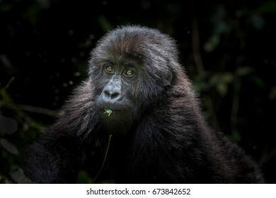 Young Grauer's or Eastern lowland gorilla in the Kahuzi-Biega NP, DRC