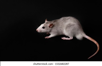 Young gray rat isolated on dark black background. Rodent pets. Domesticated rat close up. The rat is looking at the camera