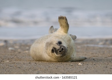 Young Gray seal (Halichoerus grypus), Wadden Sea, North Sea, Germany