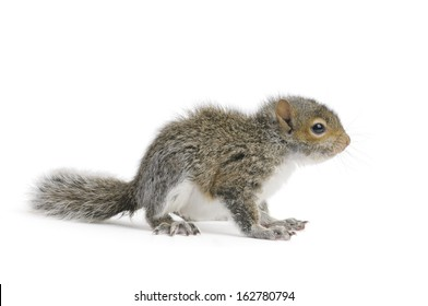 Young Gray Squirrel on a white background.