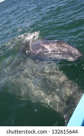 A young gray whale rides on its mothers back in a sanctuary lagoon in Baja, Mexico