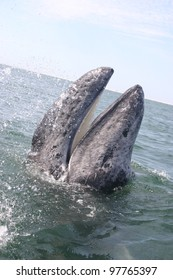 A young Gray whale is spyhopping with its mouth open, showing its baleen, in a lagoon in Baja, Mexico
