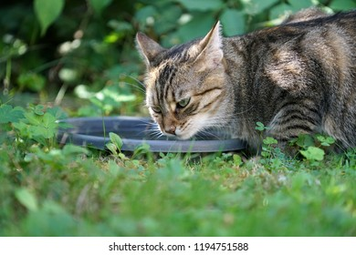 Young gray and white striped Central European shorthair cat drinking at the birdbath