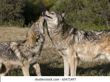 Young Gray Wolf displays affection for the older adult wolf in the pack