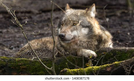 A young gray wolf lies on the ground in a german forest and observes the environment. A close-up taken at daylight in the spring.