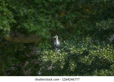 Young Great Blue Heron is sitting in the branches of a tree
