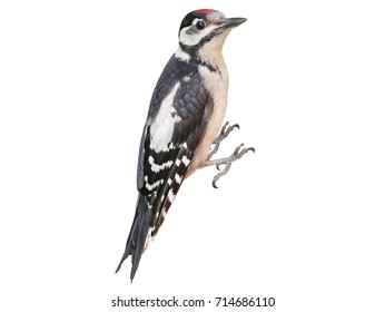 Young Great Spotted Woodpecker (Dendrocopos major), isolated, with White Background