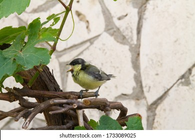 A young   great tit (Parus major) twittering on a plant of vitis vinifera.
