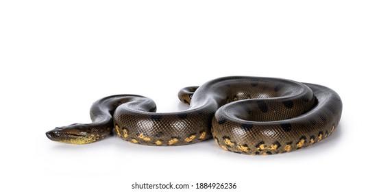 Young Green Anaconda aka Eunectus murinus snake. Isolated on white background.