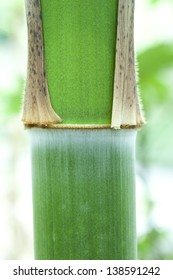 young green bamboo in growth