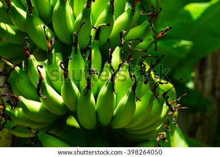 Young green banana on tree.