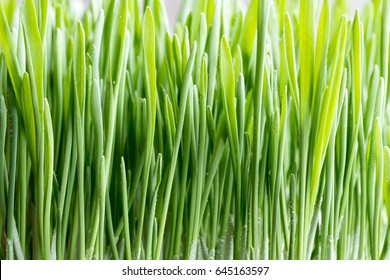 Young green barley grass growing indoors in soil