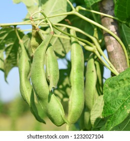 Young green beans in a summer rural landscape.