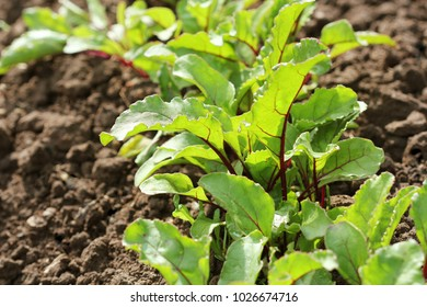 Young green beetroot plans on a path in the vegetable garden