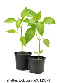 Young green bell pepper plant in pot on a white background