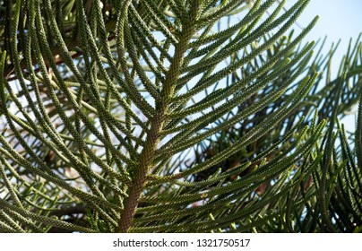 Young green branches of evergreen coniferous tree Araucaria (Araucaria) closeup. Araucaria is an exotic tree, similar to spruce.