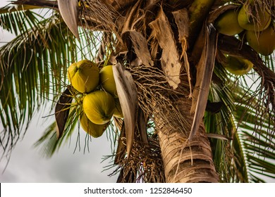 Young green coconuts on a coconut palm