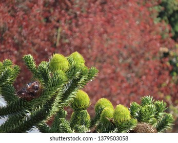 Young green cones of araucaria (Araucaria araucana) on a sunny day against a blurry background of dark red foliage. Some white spider webs on the fuzzy cones.