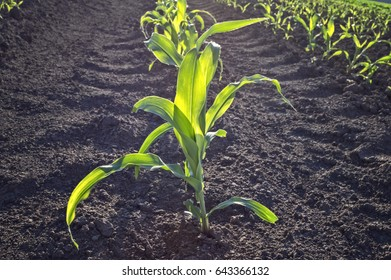 Young green corn in agricultural field in early spring,