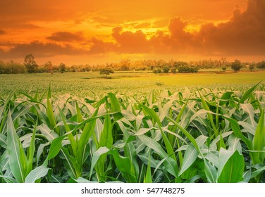 young green corn field in agricultural garden and light shines sunset.