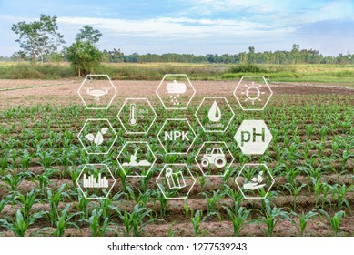 Young green corn growing on a fertile field. Field with rows of young corn / fresh new corn plant or young maize seedling in cultivated agricultural farm with modern technology e.g drone supervision