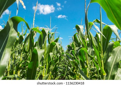 Young green corn plants on farmland