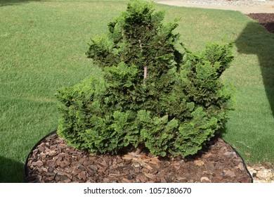 Young Green Cypress Tree Growing in a Bed of Wood Chips Amid Green Grass