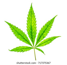 young green fresh organic cannabis green leaf with five fingers and one more small isolate. Single marijuana plant on white background. Be happy with marijuana