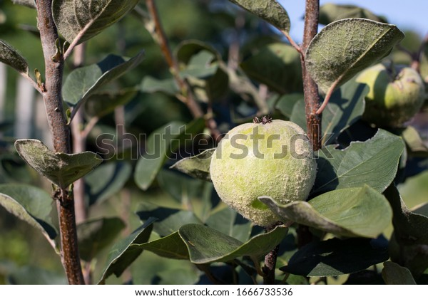 young-green-fruit-on-quince-600w-1666733