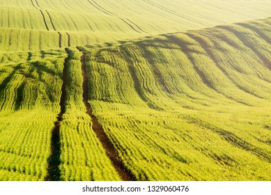 Young Green grain field with tracktor tracks. Bright morning sunlight shaping wavy landscape in spring time