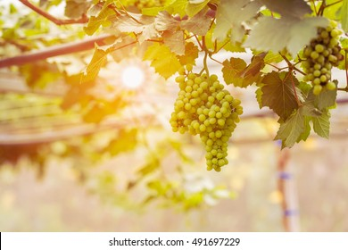 Young green grape on vine and sunset background