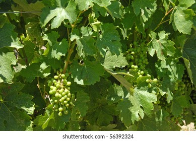 Young Green Grapes