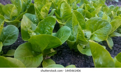 Young, green and healthy lettuce plants - Winter Density
