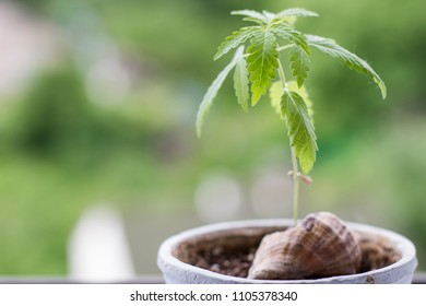 young green hemp plant. cannabis cultivation in human conditions.