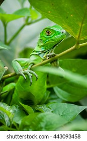 Young green iguana in Costa Rica