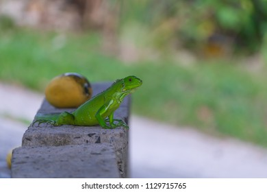 Young Green Iguana Standing in Front Of A Mango
