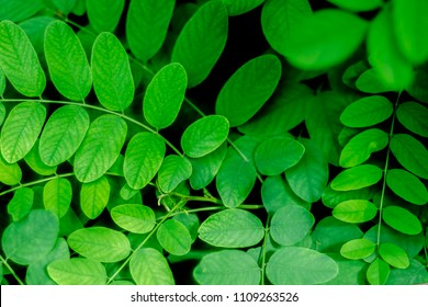 young green leaves of acacia tree close up