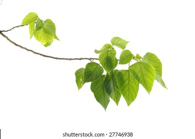 young green leaves isolated