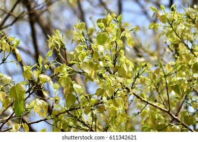 Young green leaves on blur background - Shutterstock ID 611342621