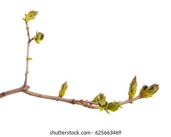 Young green leaves on a lilac branch on a white background.