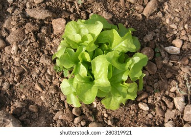 Young Green Lettuce grown in the vegetable garden