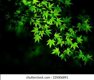 Young green maple tree leaves illuminated by sunlight in forest shadow.