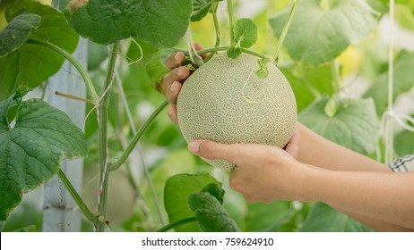 young green melon or cantaloupe growing on hand farmer in the greenhouse