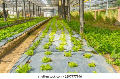 Young green Mizuna growth in hydroponics system.