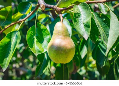A young green pear background. Organic fruits. It is often used for making brandy. Pyrus communis, also known as pear, belongs to the Rosacea family. Pears have a characteristic shape.