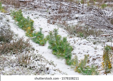 Young green pine seedlings grow in a sawn forest. Winter, snow lies on the ground. Young pine trees are covered with snow. Forestry and afforestation.
