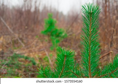 Young green pine seedlings are growing at a recent felling. Coniferous trees planted by man in the forest. Forestry and forestry.